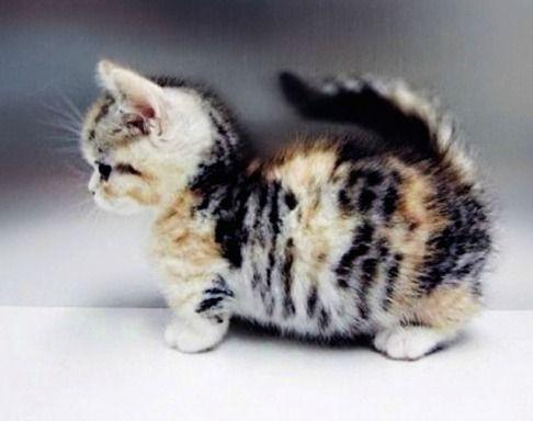 Calico munchkin kitten cats pinterest blagues - Prix chat munchkin ...