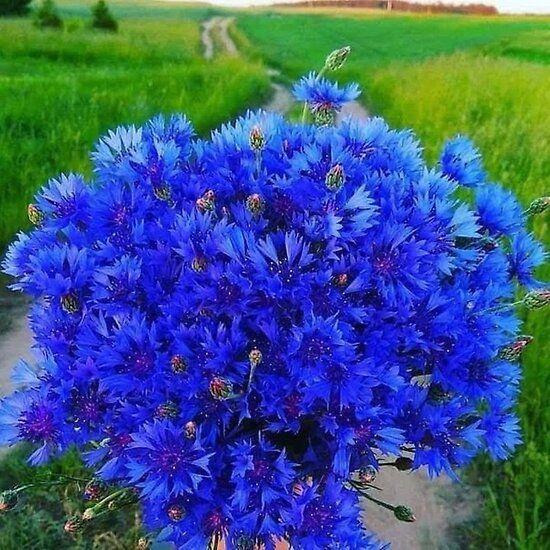 With A Blue Cornflower In 2020 Purple Garden Blue Flowers Cornflower