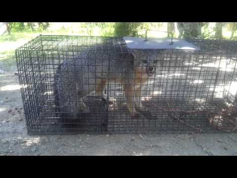 Live Trapping Fox 2 Youtube In 2020 Fox Traps Live