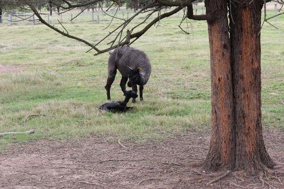 A newborn alpaca
