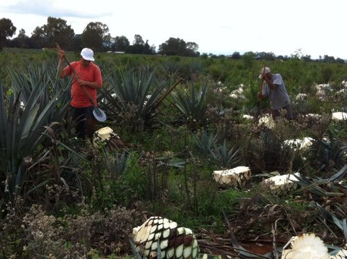 All About Agave