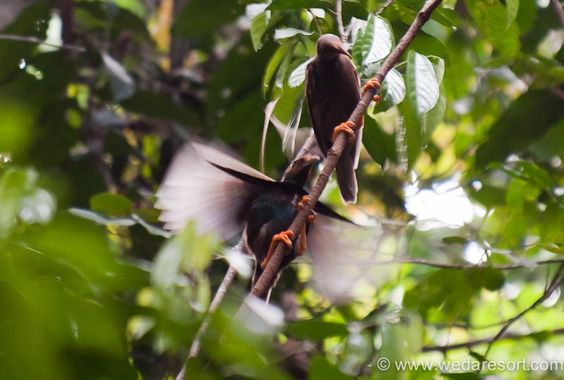 Standardwing-bird of paradise, male and female