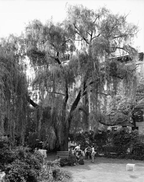 Weeping Willow, La Plaza Cultural Garden, New York, 2011