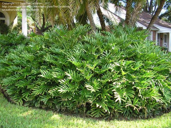 """Philodendron """"Showboat"""" - beautiful!"""