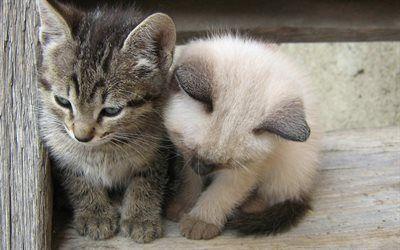 ダウンロード画像 小さな子猫 Birman子猫 小さなグレー猫 国内猫 ペット Besthqwallpapers Com 子猫 猫 グレー かわいい動物の写真