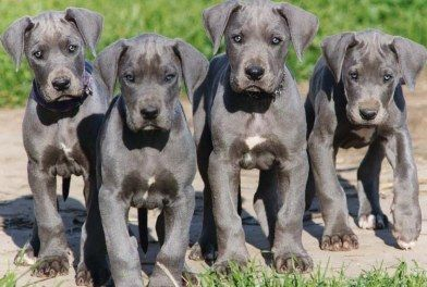 I have an obsession with blue great dane puppies:):)