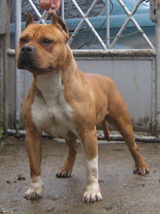 Amstaff Pedigree Database | 1056435.jpg | Dogs 1 | Pinterest | Terrier ...