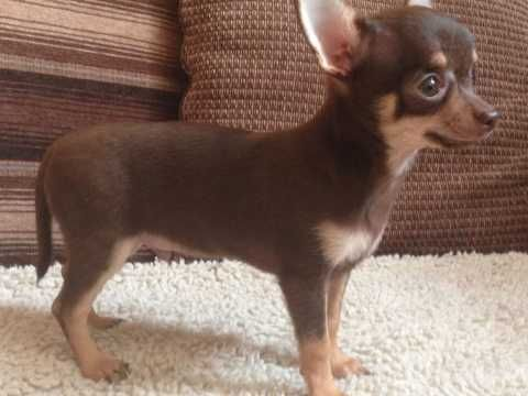 Chihuahua Dogs And Puppies For Sale In The Uk Pets4homes Teacup Chihuahua Puppies Chihuahua Dogs Chihuahua Breeds