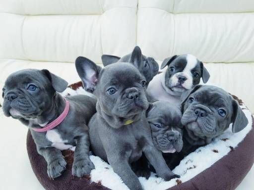 Hello Fam 3 French Bulldog Puppies Bulldog Puppies Cute