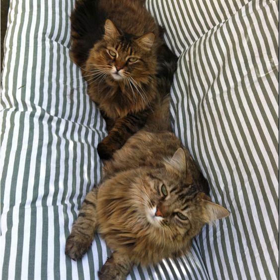 Duo de chats. Qui a le regard le plus machiavélique???