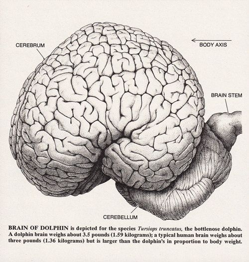 A Dolphins Brain Diagram Block And Schematic Diagrams