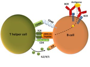 T cell-dependent B cell activation, showing a TH2-cell (left), B cell (right), and several interaction molecules wikipedia