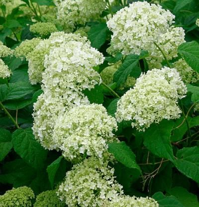 hydrangea arborescens annabelle the o 39 jays and smooth on pinterest. Black Bedroom Furniture Sets. Home Design Ideas