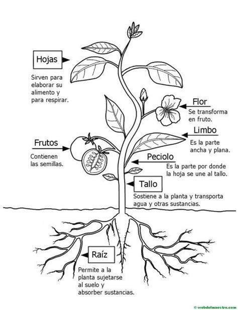 Partes De Una Planta Para Niños De Primaria Web Del Partes De La Planta Ciclos De Vida De Las Plantas Ciencias De La Naturaleza