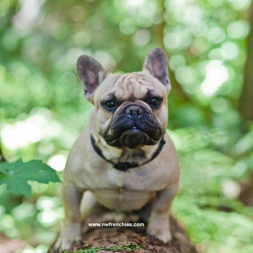 French Bulldog Coat Colors Fawn French Bulldog French Bulldog