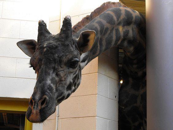 Giraffe | Animales albinos y melaninos | Pinterest ...