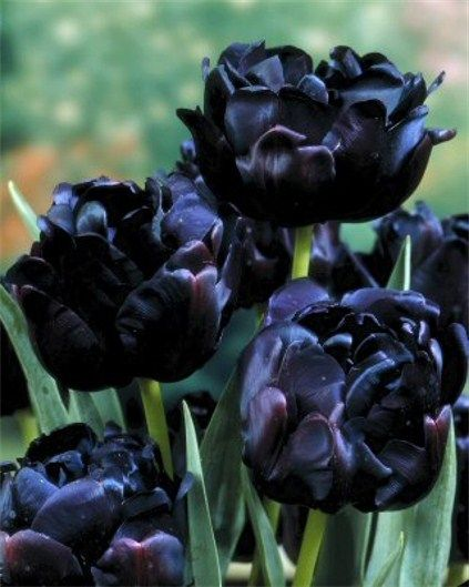 """The Black Hero Tulip — features peony-form double flowers of a lustrous maroon so dark it shades to black. Flowers are 4 to 5 inches across and carried on strong 22"""" stems. Blooms late April into early May."""