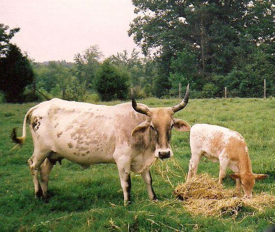 Cow/calf pair