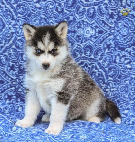Sasha Pomsky Puppy For Sale In New Holland Pa Lancaster Puppies Pomsky Puppies Pomsky Puppies For Sale Puppies For Sale