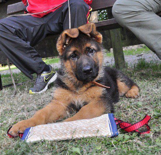 When Will My German Shepherd S Ears Stand Up German Shepherd