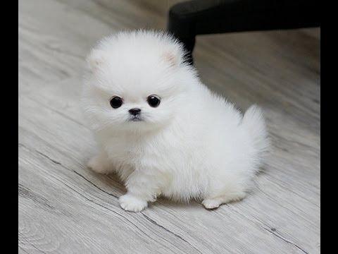Pomeranian Puppies For Free Adoption Now Watsaap 971524731062