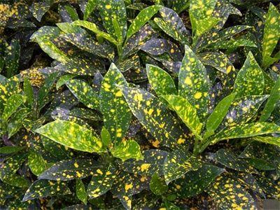 Gold dust croton codiaeum variegatum 39 gold dust 39 is a for Low maintenance tropical plants