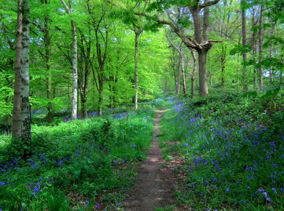 Angrove Wood - famous for Bluebells in May, near Little Somerford, Malmesbury, Wiltshire