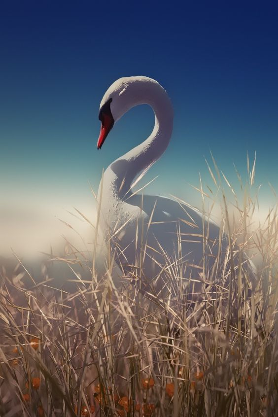 Swan posing by Otto Hütter on 500px