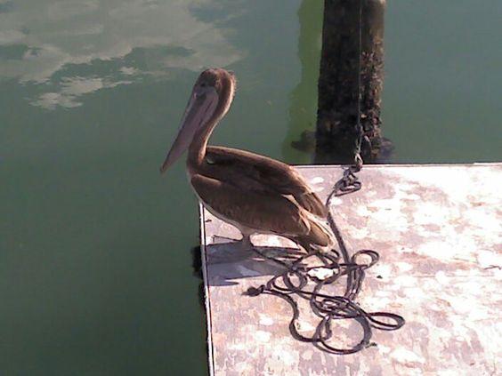 Tampa Bay pelican taken by Matt R.