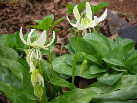 Erythronium seedling at Carolyn's Shade Gardens