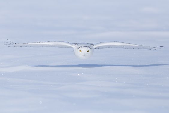 Snowy Owl Flight | by Griggs2121