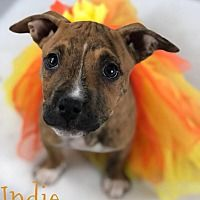 Toledo Ohio Boxer Meet Indie A For Adoption Https Www Adoptapet Com Pet 22735423 Toledo Ohio Boxer Mix Save A Dog Dog Adoption