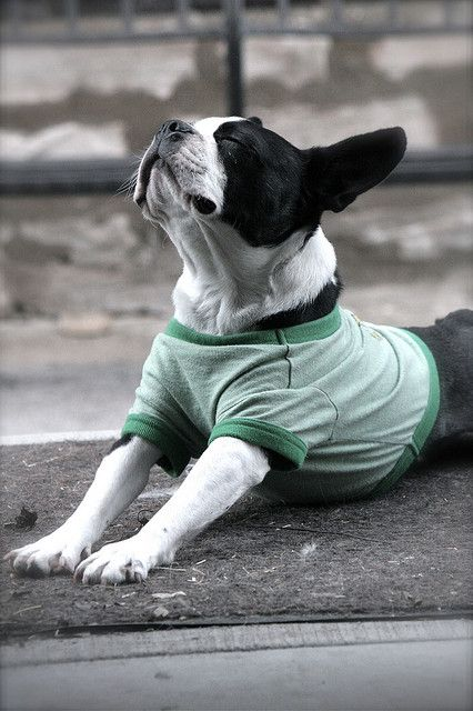 Yoga, Boston terriers and Boston on Pinterest