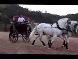 Resultado de imagem para cavalos lusitanos brancos