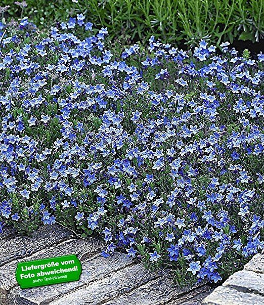 BALDUR-Garten Winterharter Bodendecker Lithodora 'Heavenly Blue', 3 Pflanzen