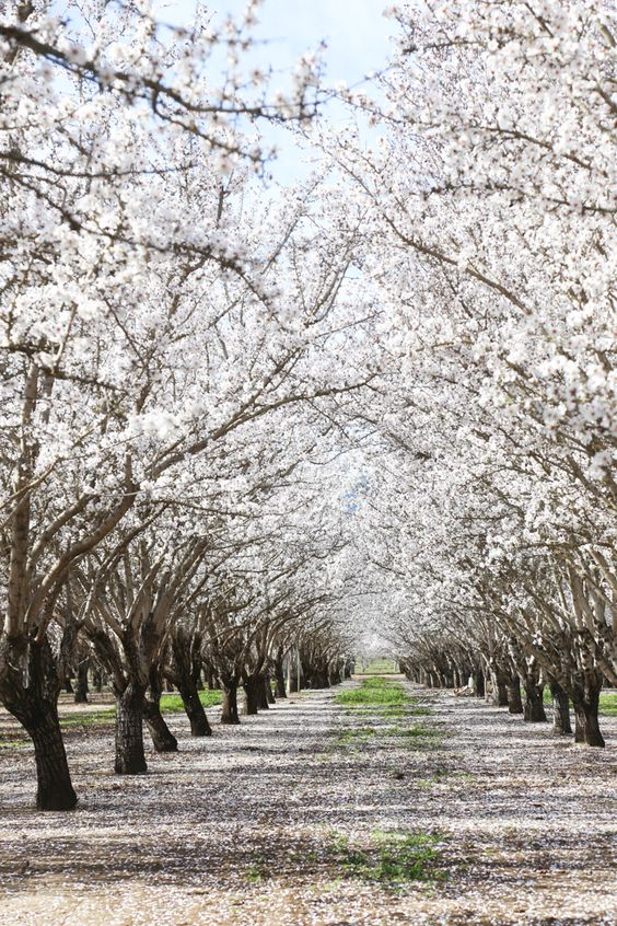 Almond Orchards In Bloom Hither Thither Tree Almond Tree Landscape