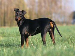 Chien Manchester Terrier  ☺ #toutoblog.unblog.fr aime ☺