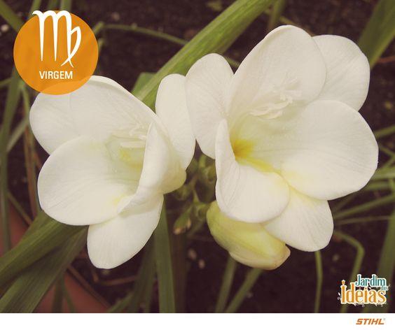 Virgem: Madressilva, Frésia e flores do campo.