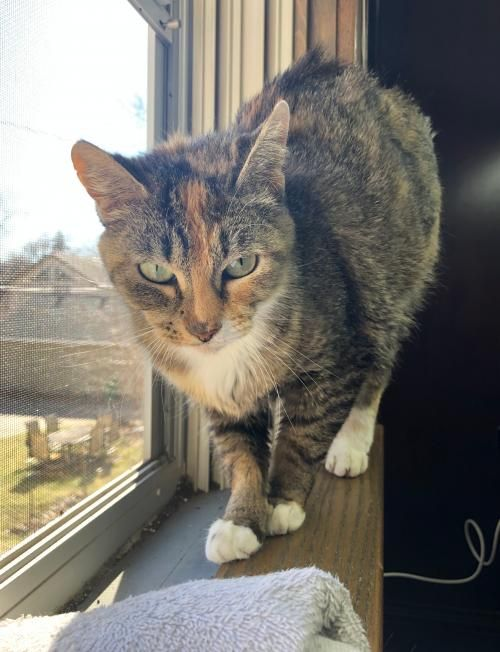 Thanks For Sharing And Helping This Cat Find A Home Domestic Short Hair In Saint Paul Mn Pet Adoption Pets Dog Adoption