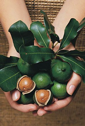 The Macadamia is a native rainforest tree known to the Aboriginals as Kindal Kindal. Its home is the rich volcanic soils of northern New South Wales and South East Queensland where it thrives in the warm sub-tropical climate and high annual rainfall.