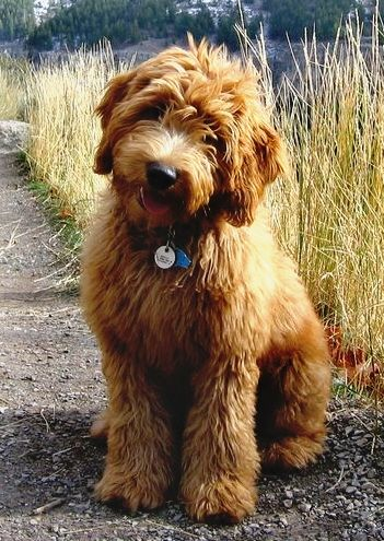 Goldendoodle, doing the tilted head thing that has made dogs appealing throughout the ages...