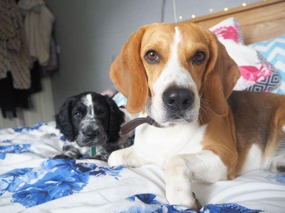 Beagle Dog Beagle Puppy Beagle Facts Blue Tick Beagle Beagle Funny