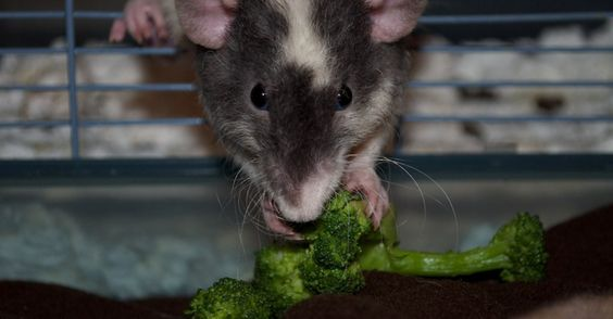 Rats will eat anything. Well, except broccoli -- get that healthy crap out of here.