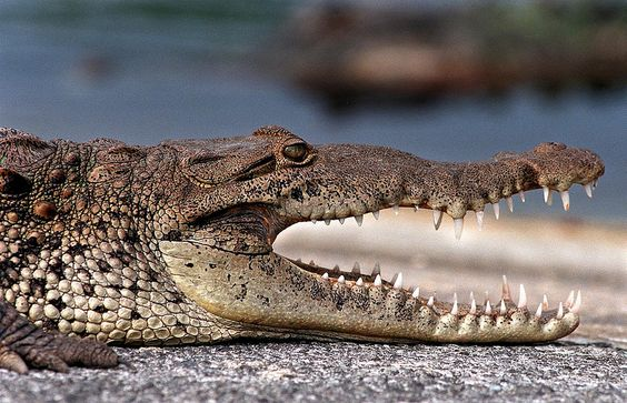Croc profile, Everglades National Park, Florida (pinned by haw-creek.com)