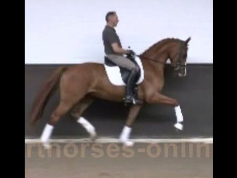 www.sporthorses-online.com 2012 Hanoverian gelding 16.2 hh