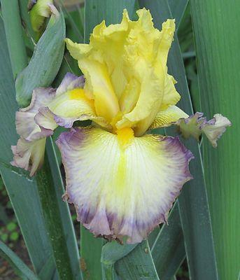 Tall Bearded Iris - SUNSET PUNCH