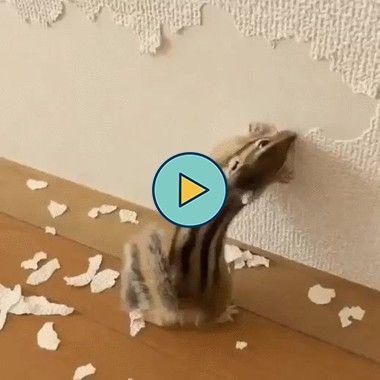 esse esquilo esta acabando com a parede