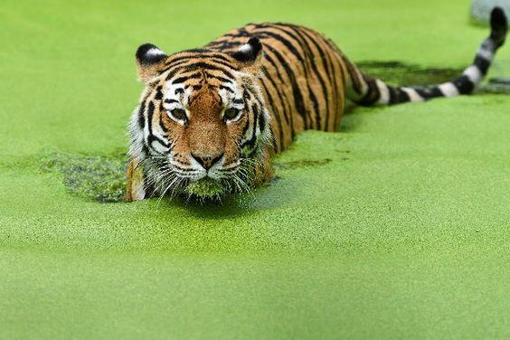 Gar nicht wasserscheu: Die Tiger im Tiergarten Schönbrunn