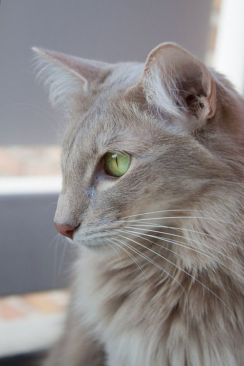 Tabby Cats Gallery With Images Tabby Cat Pictures Tabby Cat Cats