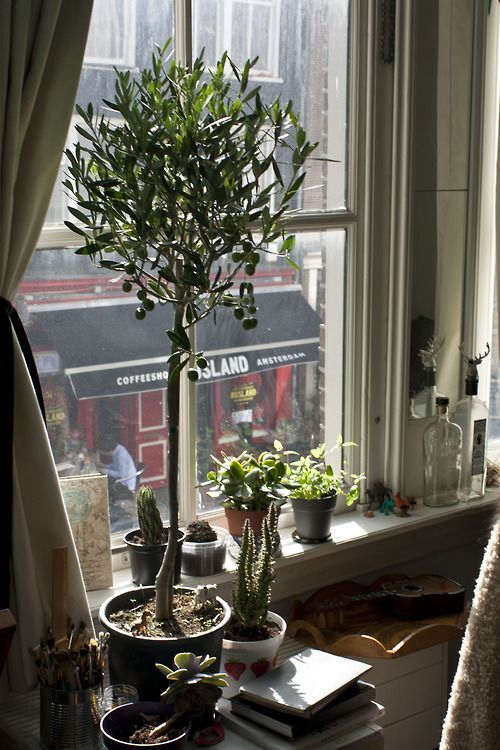 growing topiary olive tree sun window and plants
